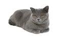 在白色背景的灰色猫 品种苏格兰平 特写镜 库存照片