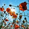 在美好的天空 太阳光下的 色波斯菊 免版税库存图片