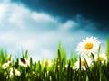 在草甸的雏菊花 图库摄影