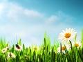 在草甸的雏菊花 免版税图库摄影