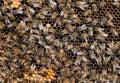 在蜂房, 节里面的繁忙的工蜂 库存图片