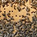 在蜂蜂房特写镜 的蜂 库存图片