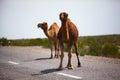 在路的二 one humped骆驼 库存照片