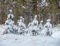 在降雪 后的杉木 免版税库存图片