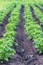 在 地面的土豆 免版税库存照片