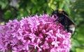 在centranthus红色拔地响的土蜂 免版税库存照片