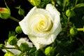 在rosebush的白色玫瑰 库存图片