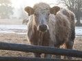 小牝牛在冬天 库存图片
