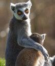 尾部有环纹catta的狐猴 库存图片
