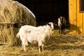 山羊s 免版税图库摄影