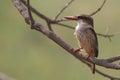 布朗带 的天堂翠鸟 tanysiptera达纳埃 免版税库存图片