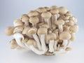 布纳shimeji蘑菇 库存照片