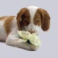 布里坦尼小狗 库存图片