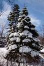 常青树和雪 库存照片