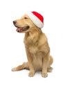 庆祝与金毛猎犬 免版税库存图片
