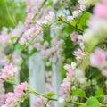 开花在庭院里的桃红色同盟藤 免版税库存图片