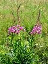 开花的野草 库存图片