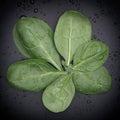 新鲜的菠菜 免版税库存照片