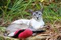 暹罗语断猫的行程 库存图片