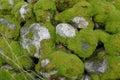 有mos的石墙 免版税库存照片