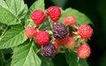 树莓 库存照片