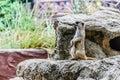 梅厄cats in动物园 色动物园,泰国 在动物园里,泰国 图库摄影