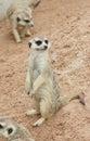 梅厄cats in动物园 色动物园,泰国 免版税库存图片