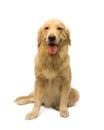 母金毛猎犬 免版税图库摄影