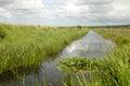 沼泽lillies 免版税图库摄影