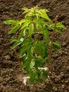 灰有叶的槭树 免版税库存图片