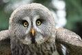 灰色极大的猫 鹰 免版税库存照片