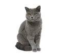 灰色猫坐白色背景 库存照片