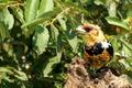 热带巨 鸟 色抓住衣领口lybius torquatus 库存图片