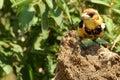 热带巨 鸟 色抓住衣领口lybius torquatus 库存照片