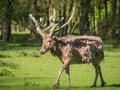 父亲大卫的鹿 免版税库存照片