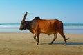 牛在海 走。 免版税库存照片