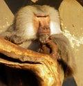 狒狒 装领导 图库摄影