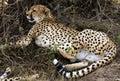 猎豹休息的树荫 免版税图库摄影