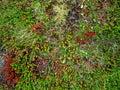 生长在熔岩石 的开花的青苔 库存图片