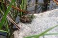 由池塘的青蛙 免版税库存照片