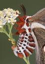 种植下蛋飞蛾 库存照片
