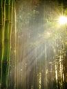 竹子早期的森林早晨 免版税库存图片