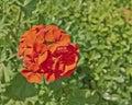 红色大竺葵束特写镜 库存图片