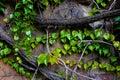 罗兰色旋花植物arvensis 库存照片