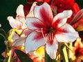 美丽的红色白百合 免版税图库摄影