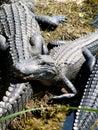 美国短 鳄 免版税库存照片