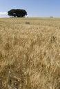 耕种的麦子的领域在太阳下的 免版税图库摄影