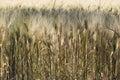耕种的麦子的领域在太阳下的 免版税库存图片