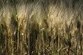 耕种的麦子的领域在太阳下的 库存照片