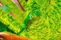 肋前缘绿色鬣鳞蜥rica 免版税库存图片